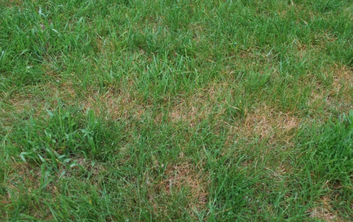Types of Lawn Fungus
